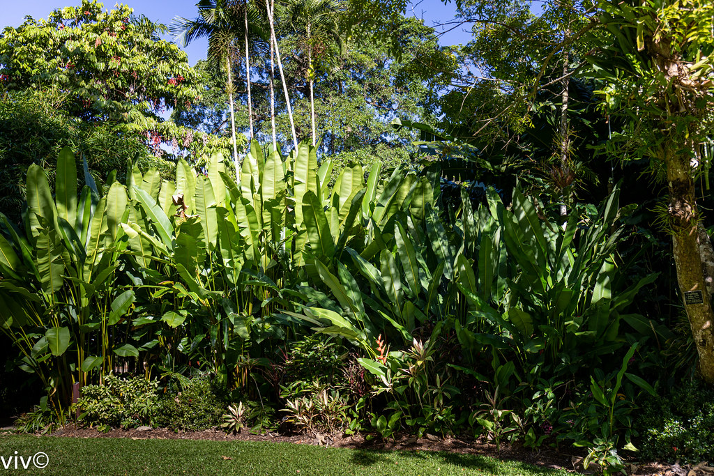 Lovely Heliconia plants and bloom