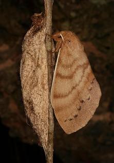Recently Eclosed Lappet Moth (Dendrolimus cf. grisea, Lasiocampidae), female