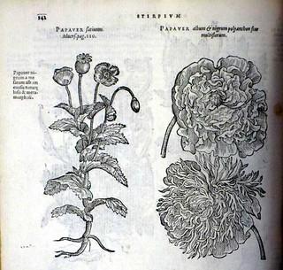 Stirpium-adversaria-papaver