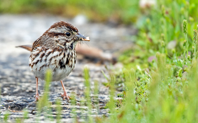 Song Sparrow with a mouthful of insects  _BSW3860