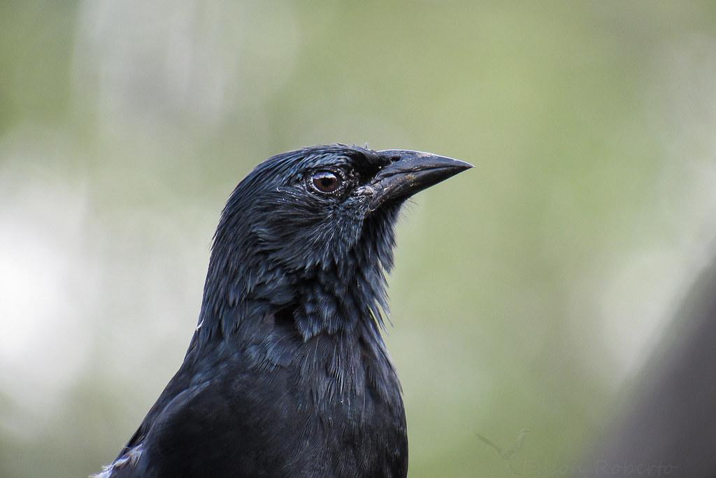 graúna - Gnorimopsar chopi (Vieillot, 1819)