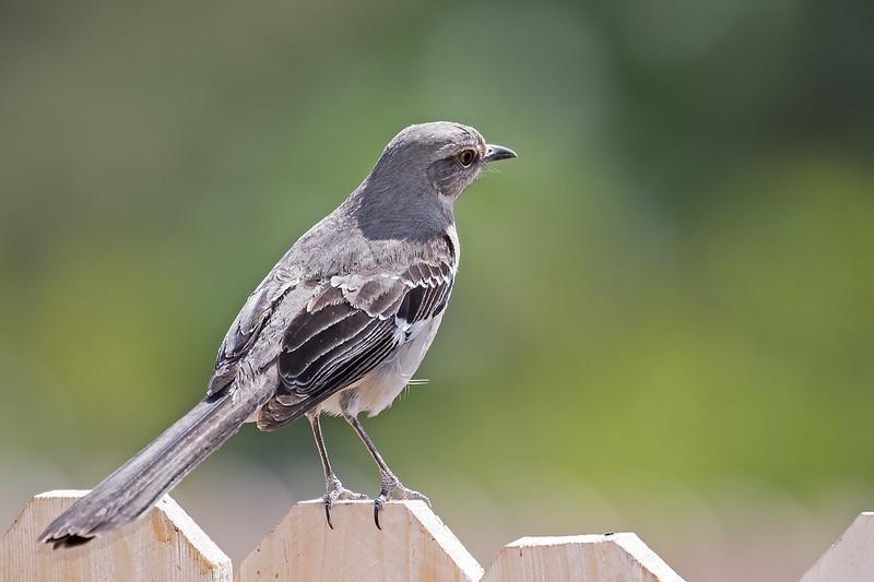 Mocking-Bird-13-7D2-050820