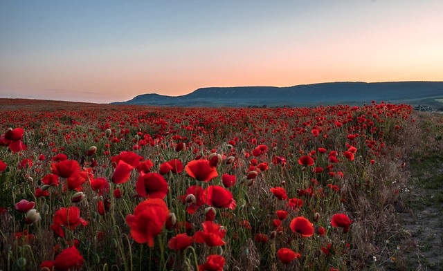 Sunrise Poppy field ❤️
