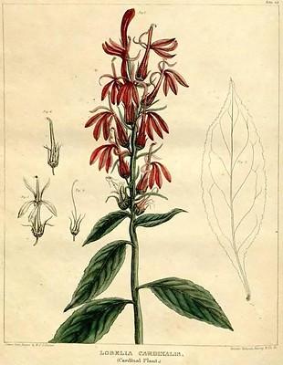 L. cardinalis