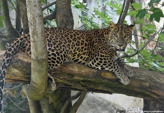 Sri Lanka Leopard - Zoo Jihlava