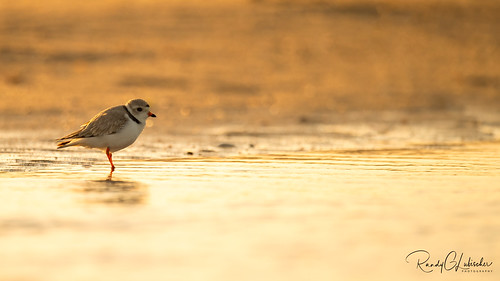 Piping Plover - Charadrius melodus | 2020 - 1