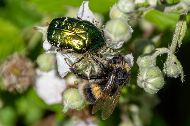Bee and Rose Chafer