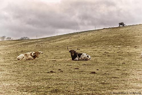 cattle mutedcolors farm shenandoahvalley stanleyvirginiausa virginialandscape pagecountyvirginiausa virginiascenery landscape ruralvirginia riverbendranch steer longhorn