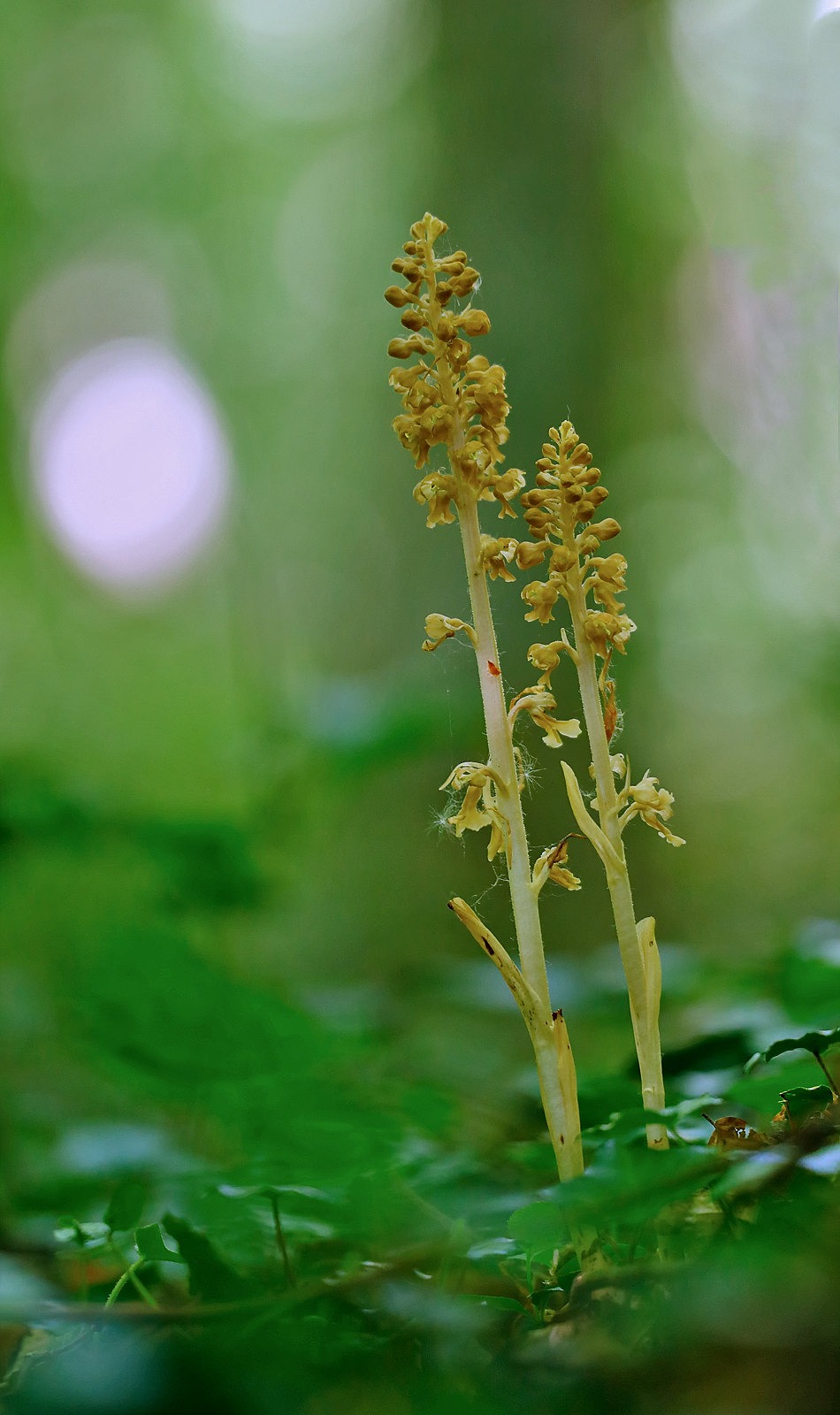 Bird's-nest Orchid