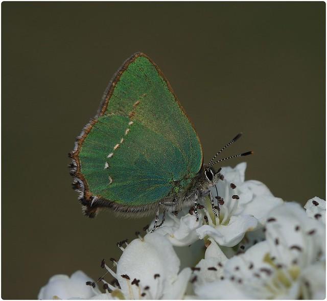 Green Hairstreak - Nectaring on Hawthorn Blossom