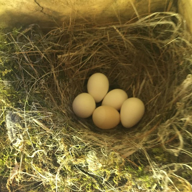 Phoebe nest under the deck. Guess I'll avoid this corner of the deck for a while. 🐥🐥🐥🐥🐥