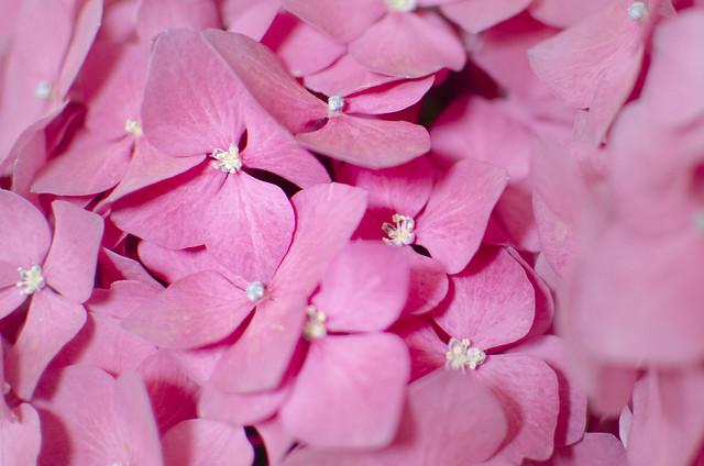 Hortensia rosa. Hydrangea