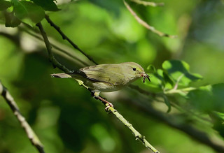 Willow Warbler --- Phylloscopus trochilus