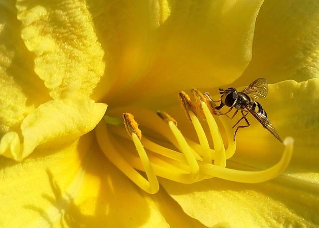 Hoverfly on Daylily