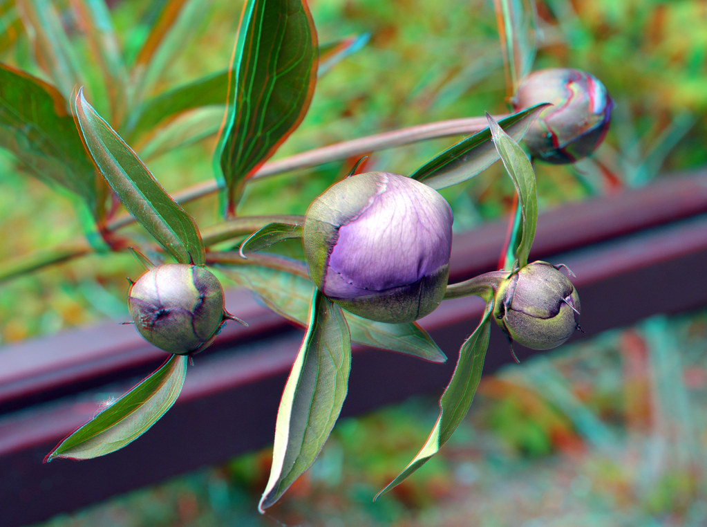 Flower-buds Chinese tuin Blijdorp Zoo 3D