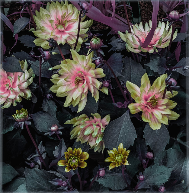 dallying with the dahlias