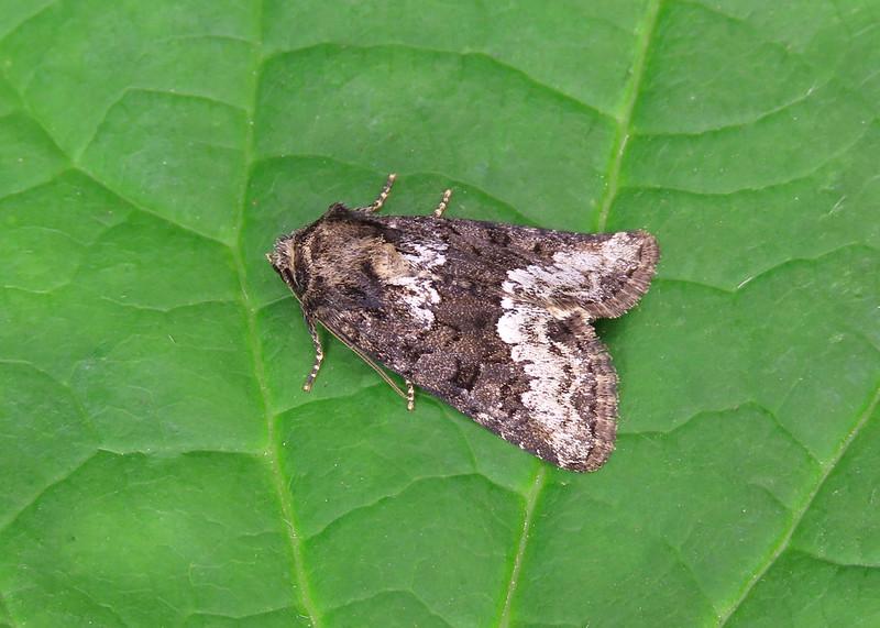 73.173 Marbled Minor agg. - Oligia strigilis agg.