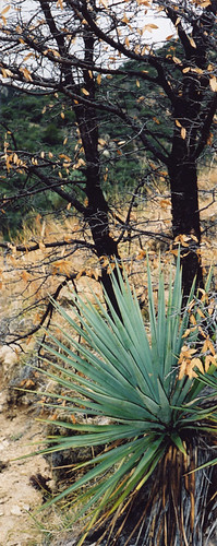 Black trees and a yucca in the Santa Rita Mountains near Tucson in Arizona, USA