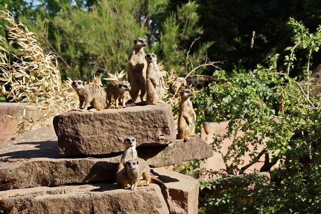 Erdmännchen - Meerkat