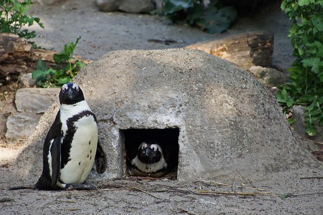 Brillenpinguin - African penguin