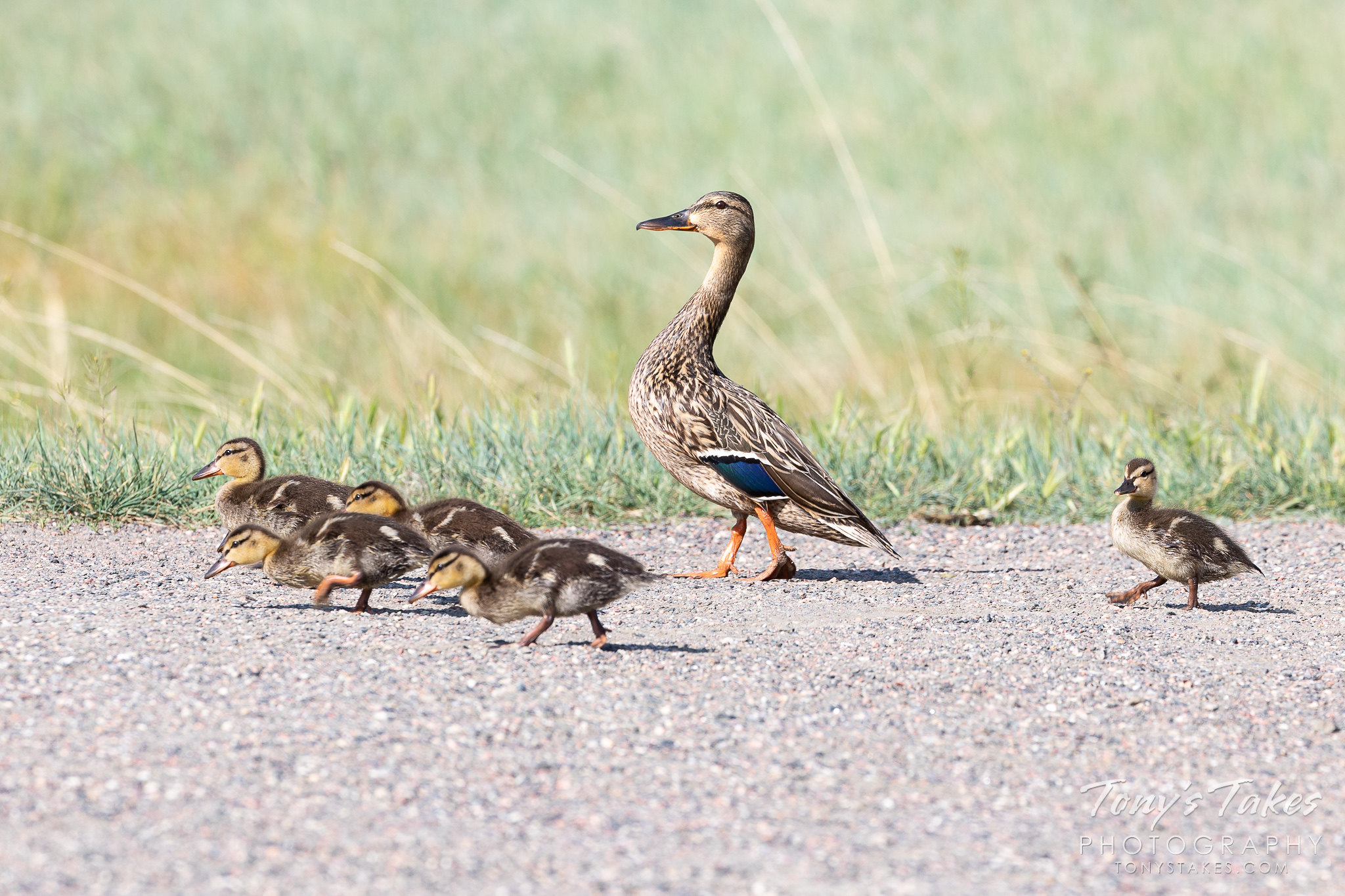 A mallard hen takes her ducklings for a walk. (© Tony's Takes)