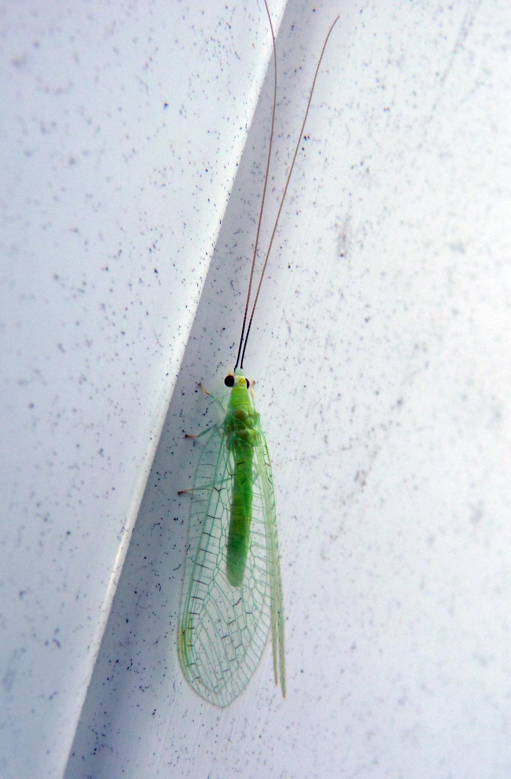 Ceraeochrysa lineaticornis 49921466048_74a903de74_o