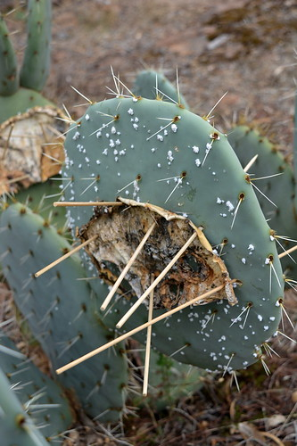 Wheel cactus | by Friends of Chiltern Mt Pilot National Park