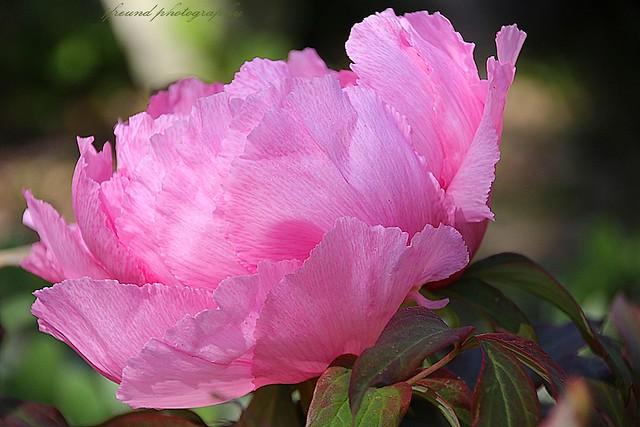 May flower- Peony