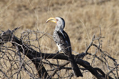 yellow-billed hornbill - Sabi Sand Game Reserve - South Africa