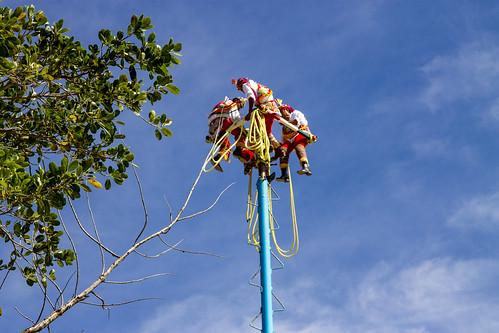 Coati in the trees around Tulum, Mexico