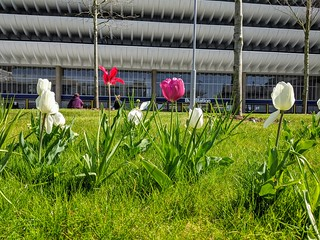 Tulips by Preston Bus Station | by Tony Worrall