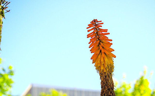 Torch Lily - Lirio de antorcha