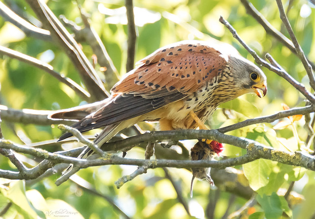 Kestrel with prey