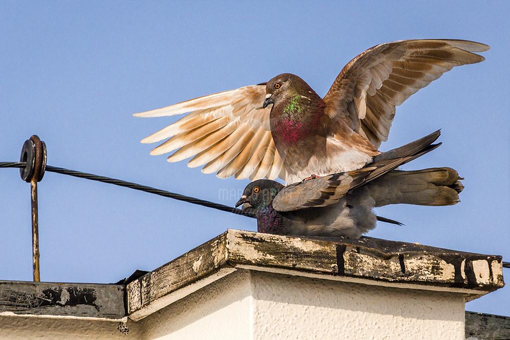 Mating - Rock Pigeon | Columba livia