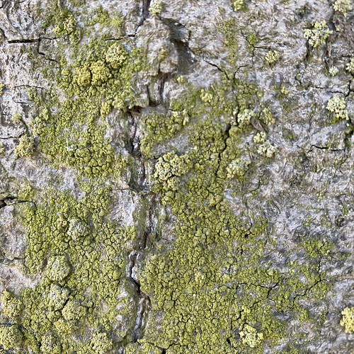 Lichen on a linden tree in Laivasillankatu street | by annette.arlander