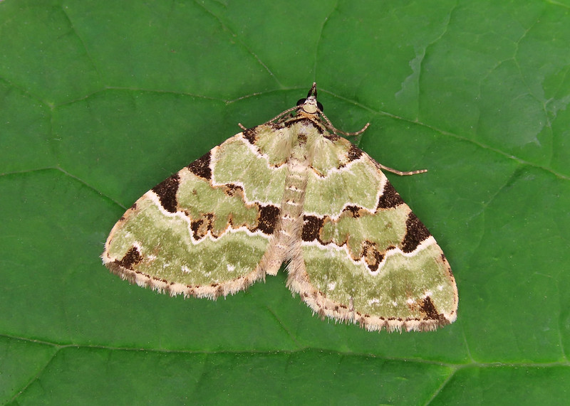 70.100 Green Carpet - Colostygia pectinataria