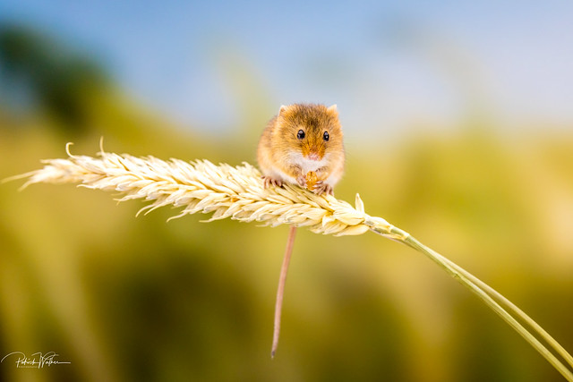 Harvest Mouse - March 2020
