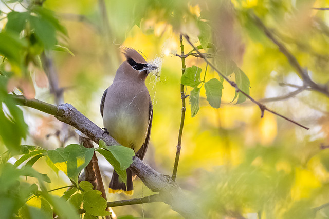 Cedar Waxwing with nesting material