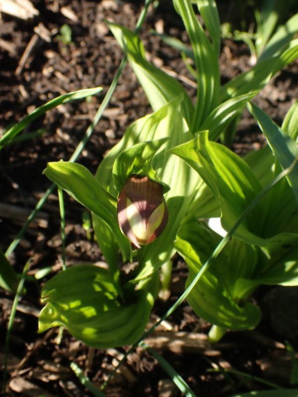 Cypripedium / Garden Slippers - Page 10 49922740326_6a3c10b37c_c