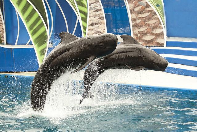 Globicephala macrorhynchus - Short-finned Pilot Whale