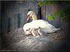 Schwanenmutter mit ihren Küken