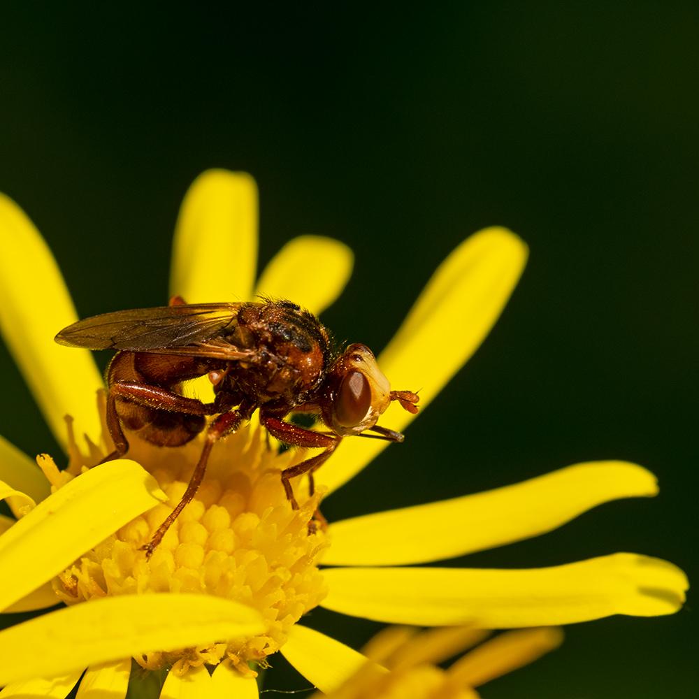 Macros/  proxi/  insectes  - Page 35 49922956388_3c860c489e_o