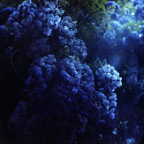 Blauregen · Wisteria