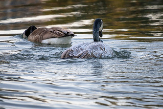 Canada Geese washing themselves
