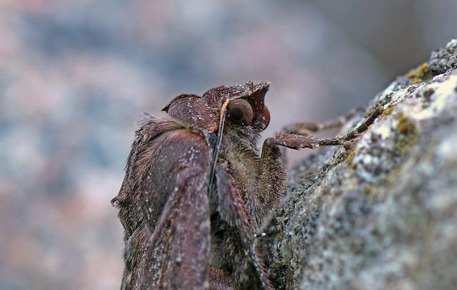 Motte - Moth