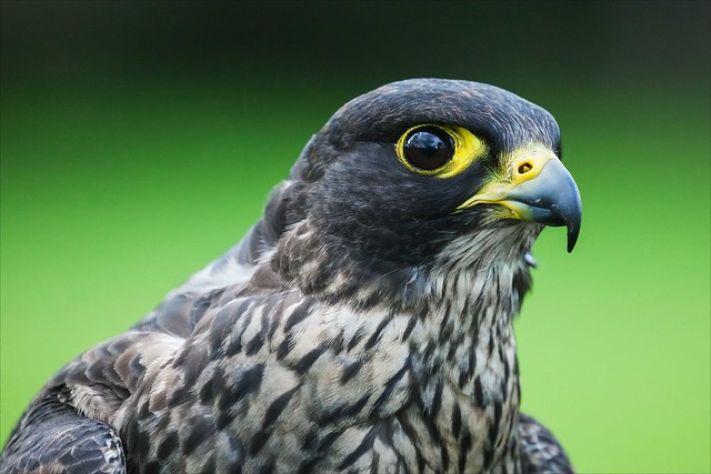 Dark phase Peregrine Falcon head and shoulders