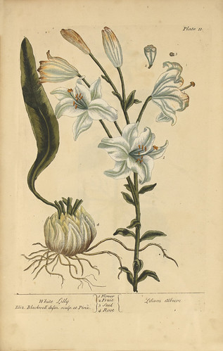 White lilly =: Lilium album | by National Library of Medicine - History of Medicine