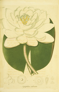 Nymphaea odorata | by National Library of Medicine - History of Medicine