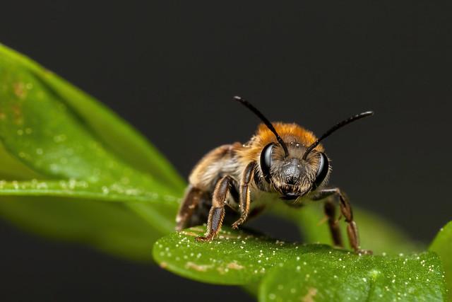 The Cute Bee, Pt. 2 - _TNY_8398 (In Explore 23/5 2020)