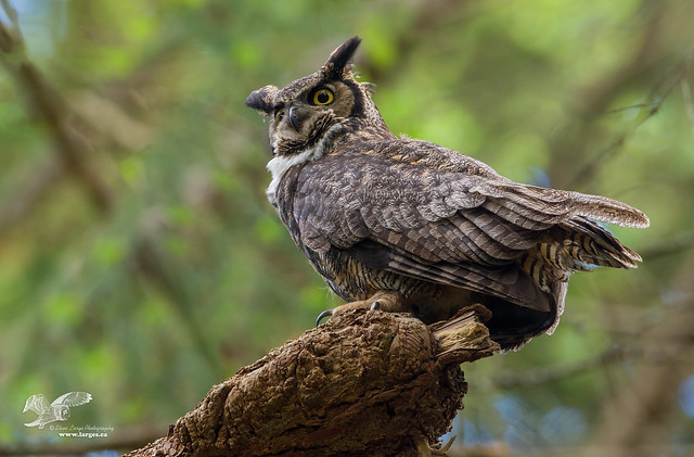 Keeping An Eye Out For Ravens (Great Horned Owl)